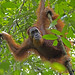 Sumatran Orangutan - Photo (c) Lip Kee, some rights reserved (CC BY-SA)