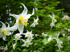 colorado blue columbine(0.0), lily(1.0), erythronium(1.0), flower(1.0), yellow(1.0), plant(1.0), flora(1.0), meadow(1.0),