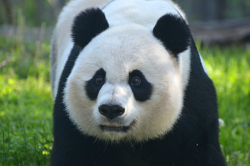 Mei Xiang Loves Her Bamboo Shoots (2 of 3)