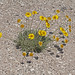 Stemmy Four-nerve Daisy - Photo (c) Jerry Oldenettel, some rights reserved (CC BY-NC-SA)