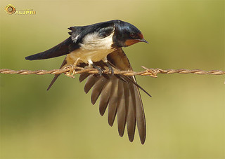 Red-rumped Swallow  السنونو