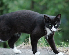 feral tuxedo cat in Morningside Park