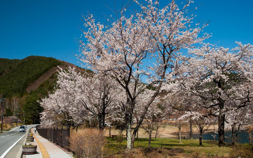 Japan - Lake Kawaguchi - Sakura