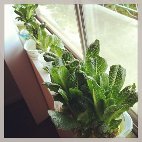 Windowsill Lettuce Farm