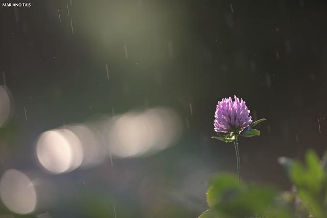 Pioggia sul trifoglio