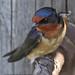 Swallow, Barn (Hirundo rustica) by Alexander Viduetsky
