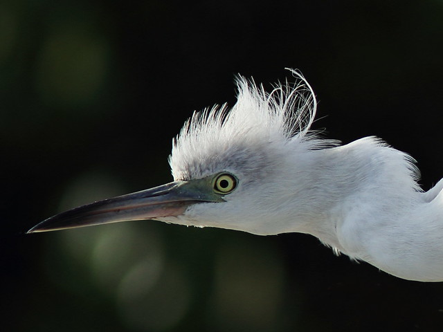 Little Blue Heron immature head 20141118