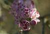 زهرة الأثل Flower tamarisk