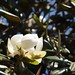 In the neighborhood…Magnolia grandiflora - 06