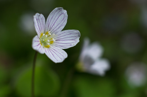 May 1st - Oxalis acetosella