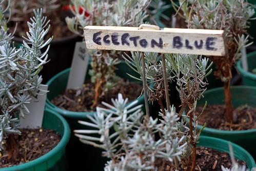 Balingup Lavender Farm - Egerton Blue