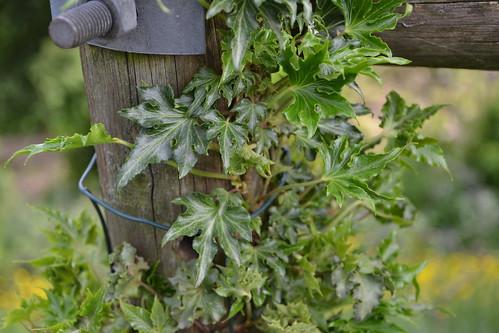 Hedera - lierre (cultivar)