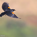 Blackbird Breezes By by Patricia Ware