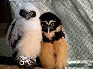Spectacled Owl Chick3