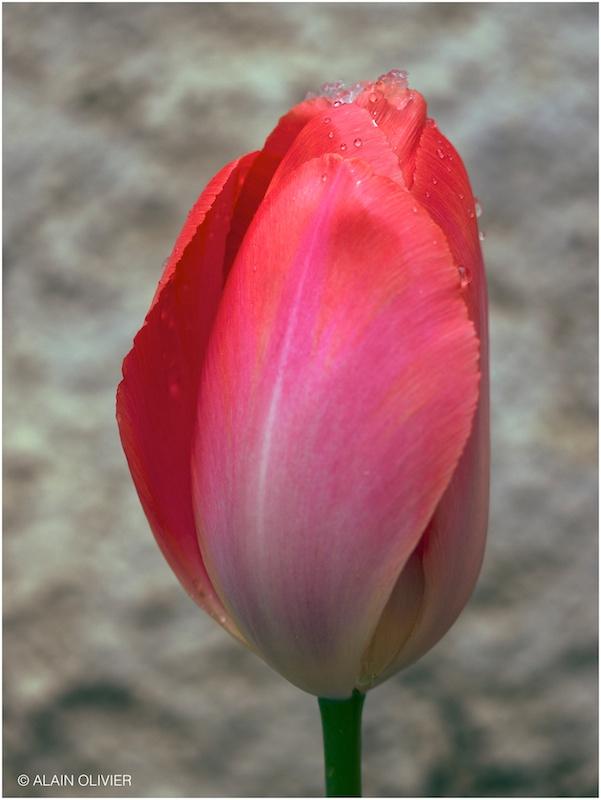 Tulipe du 1er mai 8813462117_a3f1b7dcb9_c