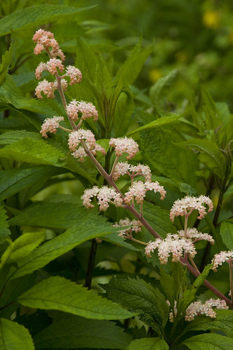 Rodgersia bloom