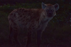 animal(1.0), mammal(1.0), hyena(1.0), fauna(1.0), wildlife(1.0),