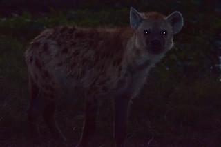 Hyena at Dark