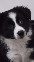 Bonnie #bordercollie #puppy #bcpuppy