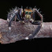 IMG_3071 Pancorius, jumping spider.HA! by omtelsimon