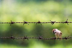 """""""鐵絲網麻雀 Sparrow on barbed wire"""" / 自然 Nature / SML.20130501.7D.40798"""