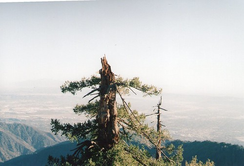 Tree overlooking LA Basin