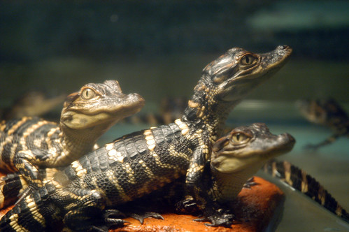 a clutch of about half a dozen tiny alligator hatchlings with bright beady eyes and attractive striping