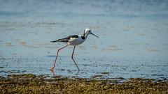 sandpiper(0.0), wetland(1.0), animal(1.0), charadriiformes(1.0), sea(1.0), nature(1.0), fauna(1.0), stilt(1.0), shorebird(1.0), bird(1.0), wildlife(1.0),