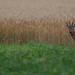 roe deer by Bart Hardorff