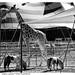 vita da Circo by albygent Alberto Gentile