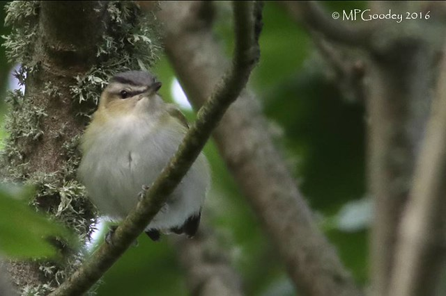 Red Eyed Vireo (M.Goodey)
