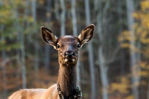 elk cataloocheevalley greatsmokeymountainsnationalpark wildlife