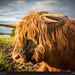 Scottish highlander cow