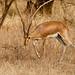 Chinkara or Indian Gazelle