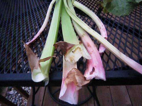 Rhubarb Harvest 1