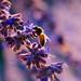 buzz buzz - 201/366 by auntneecey