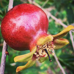 Pomegranate growing in the garden today on my youn…