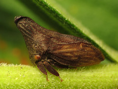 Thorn-mimicking Treehopper