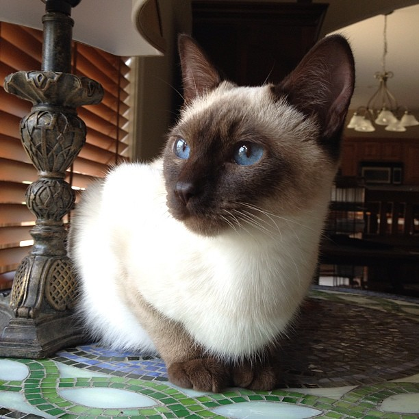Blue Eyed Lou #siamese #cat #instacat