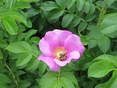 blossom(0.0), floribunda(0.0), rosa multiflora(0.0), shrub(1.0), garden roses(1.0), flower(1.0), rosa gallica(1.0), plant(1.0), rosa rubiginosa(1.0), rosa canina(1.0), flora(1.0), rosa acicularis(1.0), rosa rugosa(1.0), petal(1.0),