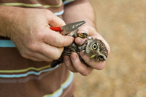 Little Owl (Athene noctua) being ringed