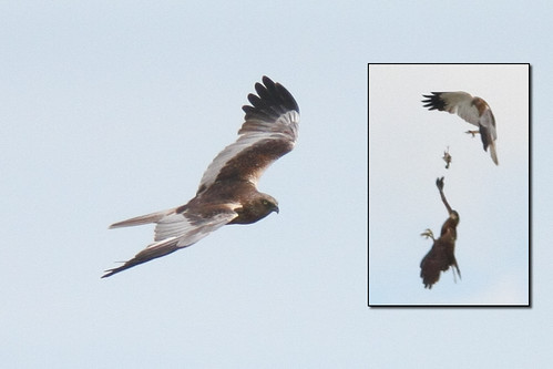 Marsh Harrier (+ food pass)