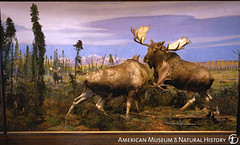 deer, moose, fauna,