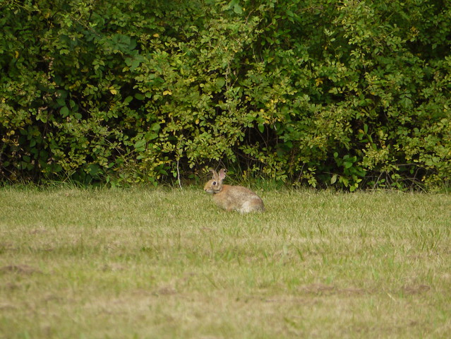 wild rabbit 2