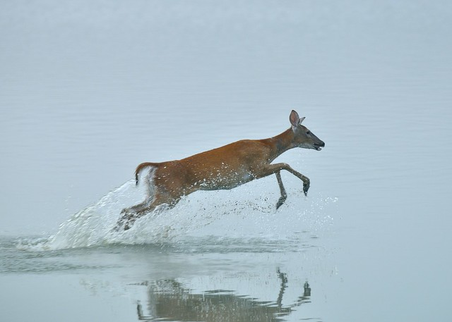 White-tailed Doe crossing a lake