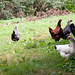 chickens watching the posssum