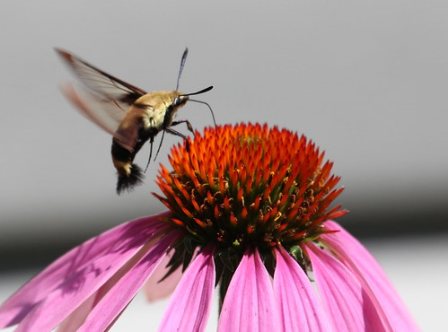 Hummingbird clearwing sphinx moth by ricmcarthur