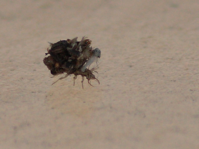 Lacewing larva 20120727