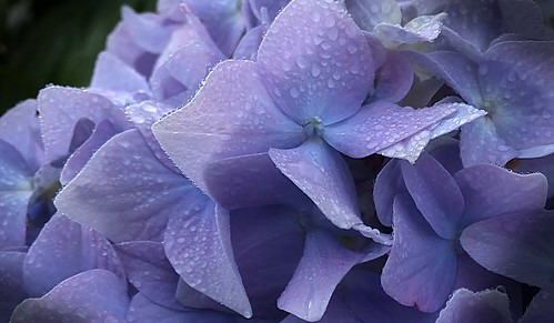 Rain soaked hydrangea by Glenda Hall