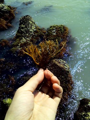 Rumput Laut Tirtamaya_2